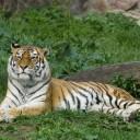 10 фактов о самой большой дикой кошке