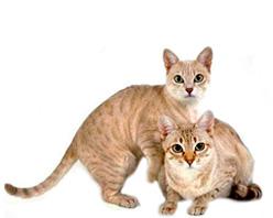 Австралийская дымчатая кошка (австралийская мист)