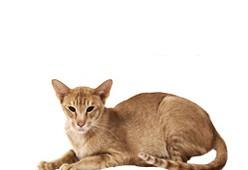 Ориентальная короткошерстная кошка (восточная)
