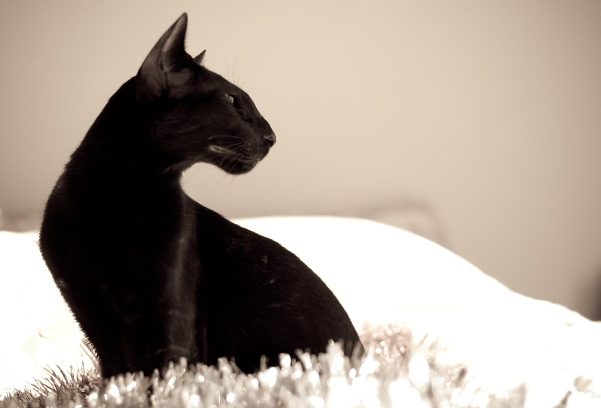 http://www.catpage.ru/wp-content/uploads/2015/02/oriental-cat2.jpg