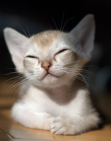 Скоттиш страйт продажа котят скоттиш страйт купить кошку