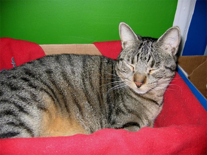 Фото калифорнийского сияющего кота