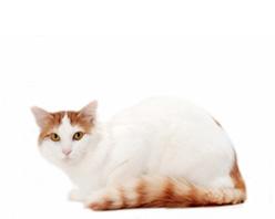 Турецкий ван (турецкая ванская кошка)
